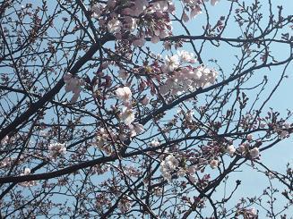 桜さいてた~.JPG
